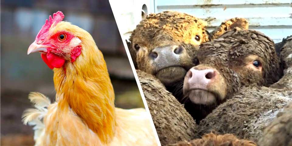 Radican proyectos de ley para hacer obligatorio el etiquetado de huevos según su proceso de producción y prohibir la exportación marítima de animales vivos