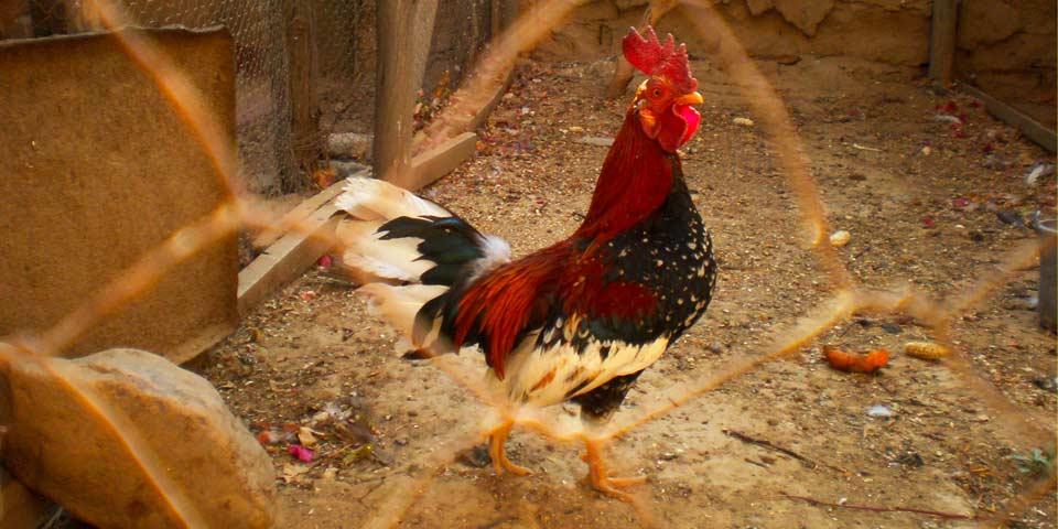 Proyecto de Acuerdo por el cual se establecen prohibiciones para realizar riñas de gallos en el distrito capital